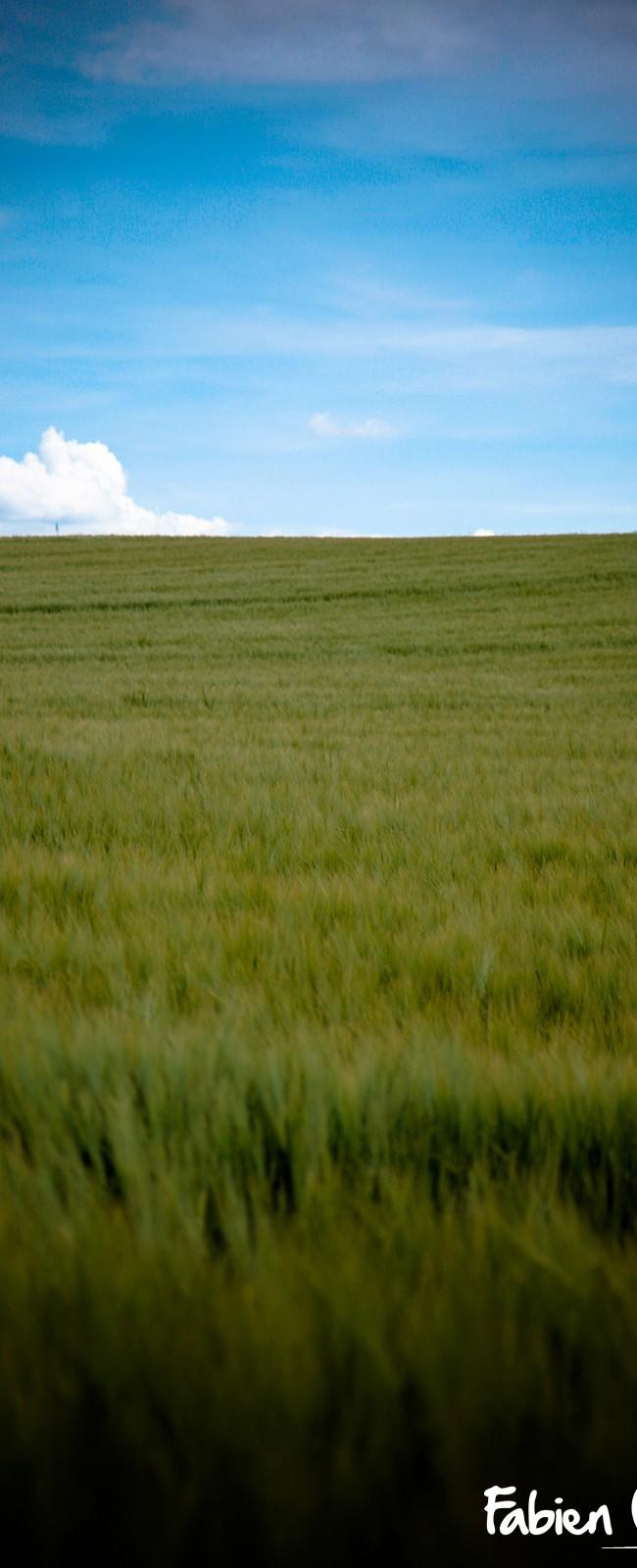Dans les champs de blé