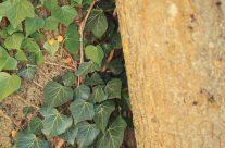 Tronc d'arbre & lierre